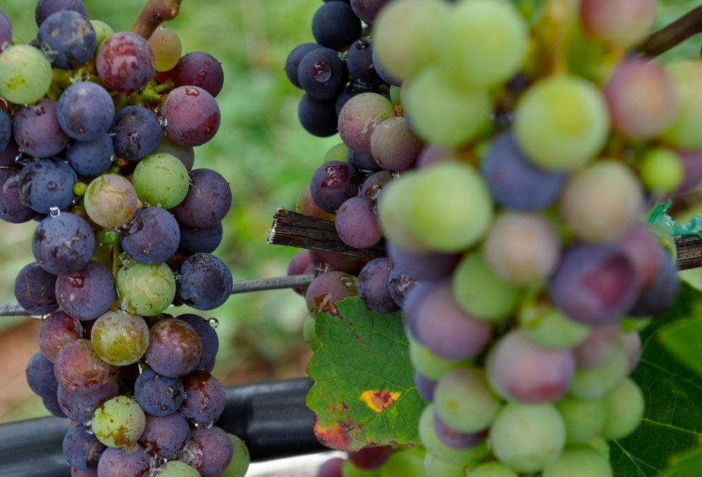 grapes 1750.jpg