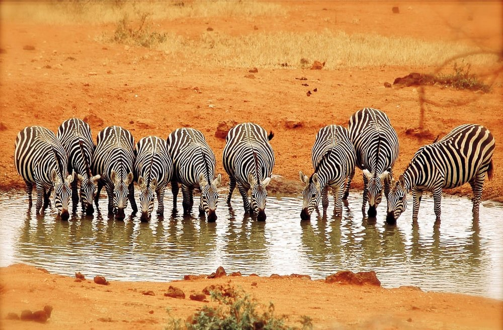 Zebras drinking water from a pond, Amboseli National Park, Kenya