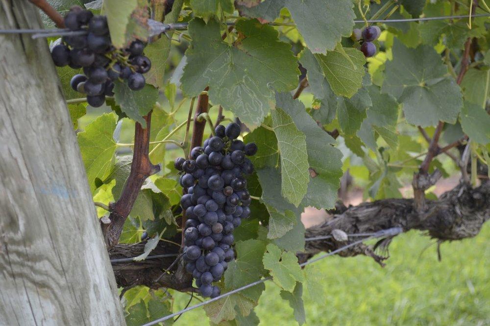North Carolina Red Wine Grapes.JPG
