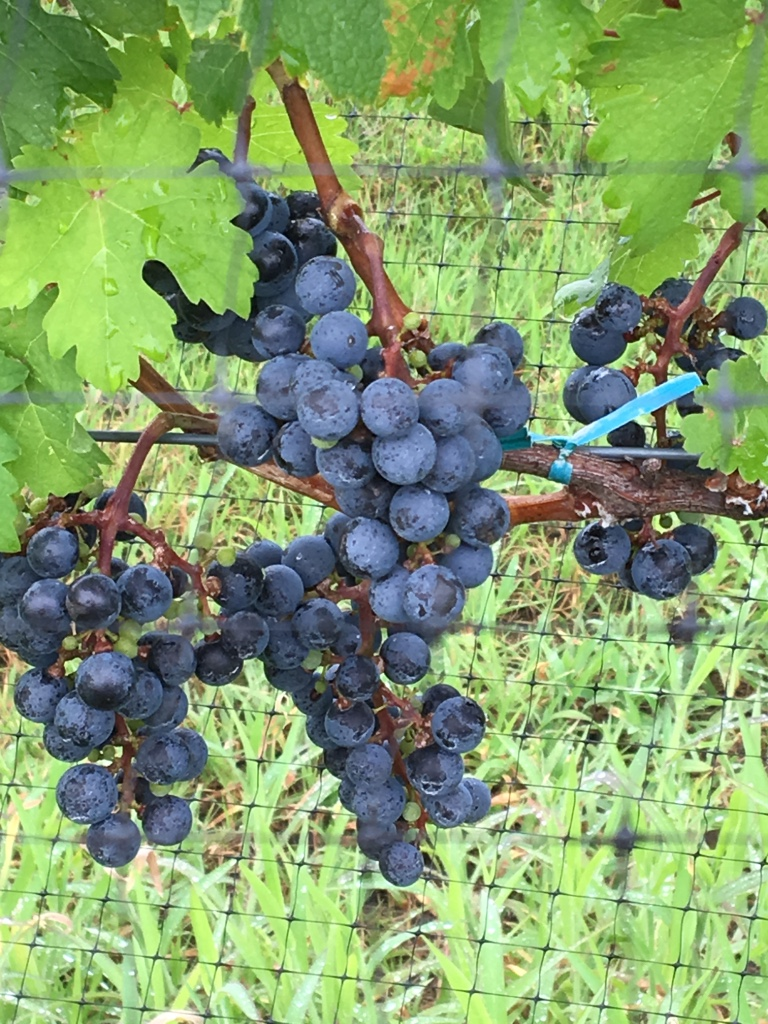 Sanctuary Vineyards North Carolina Grapes.jpg