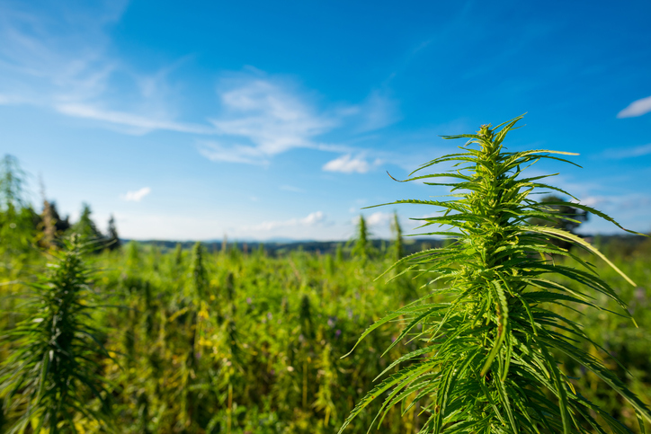 CERTIFIED ORGANIC FARMS - We have access to some of the largest certified organic farms ~10,000 acres today. Our farms will be dedicated to 100% legal industrial hemp.