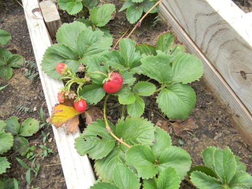 organic gardening sow what.jpg