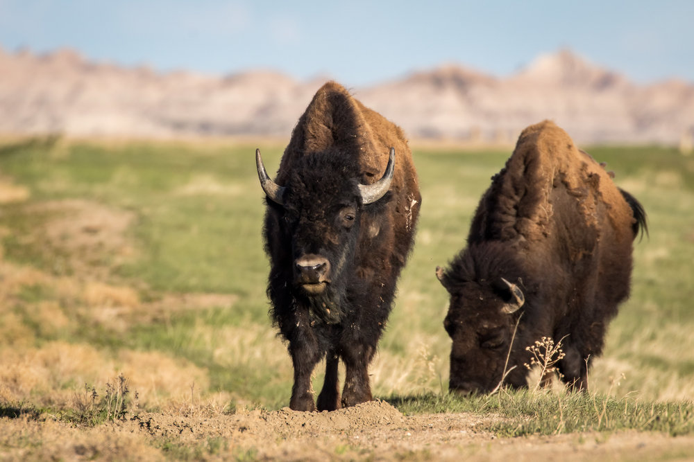 Badlands Bison-0846.jpg