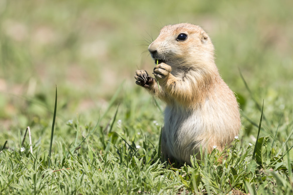 Badlands Prairie Dog-4265.jpg