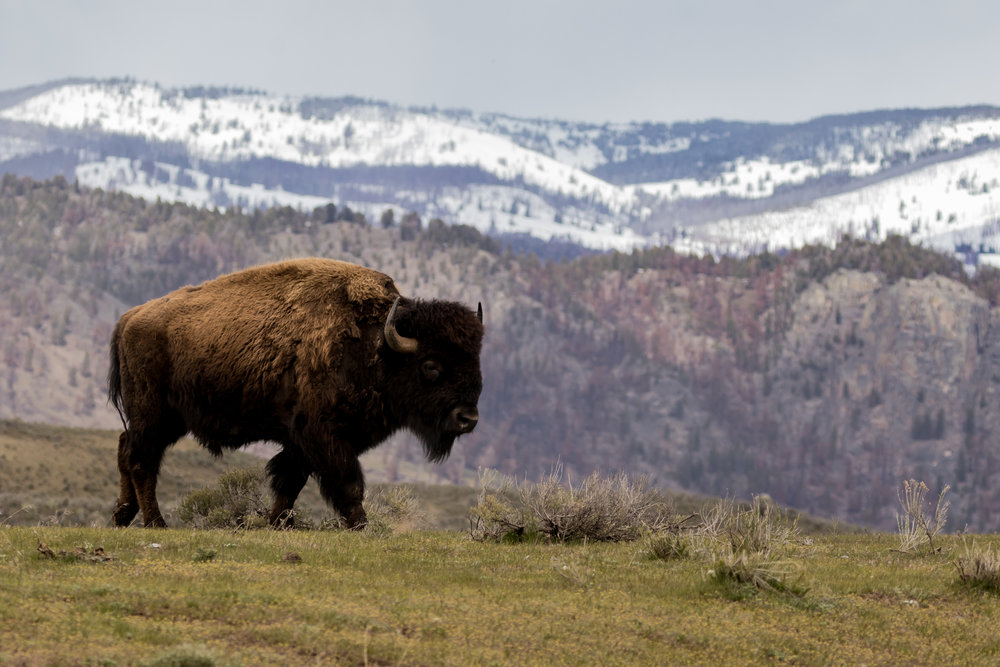 Bison in the Mountains-8134.jpg