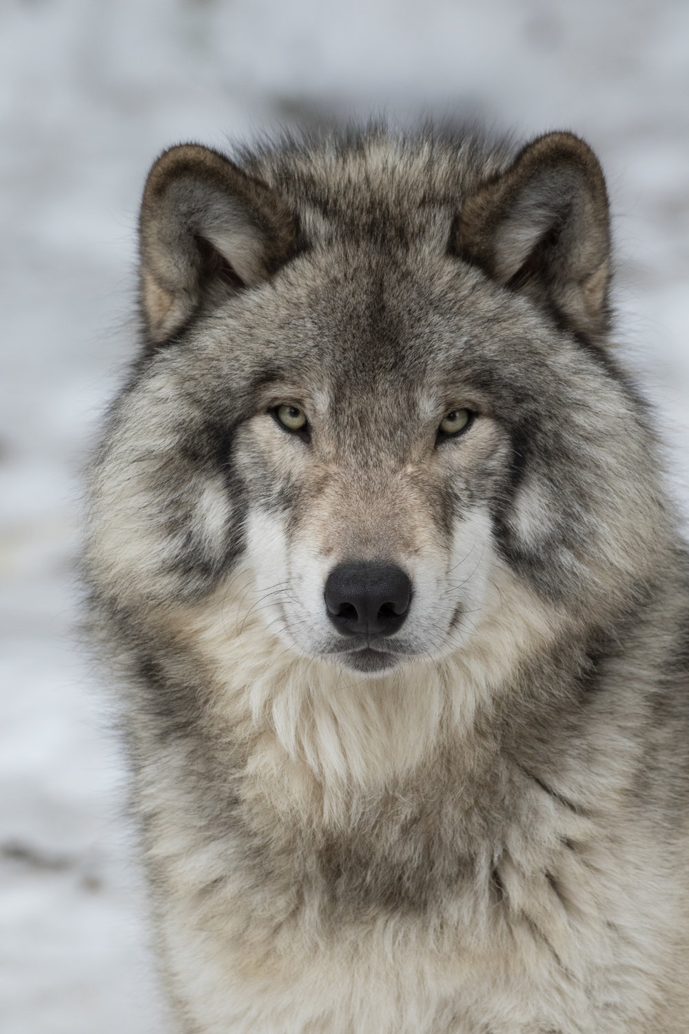 Gray Wolf Portrait-3943.jpg