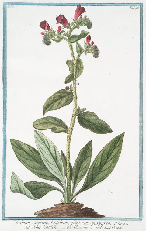 Medicinal herb illustration via The New York Public Library Digital Collections . 1772 - 1793.