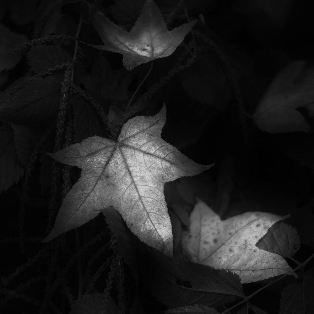 leaves 15-220-1 print 55x55.jpg