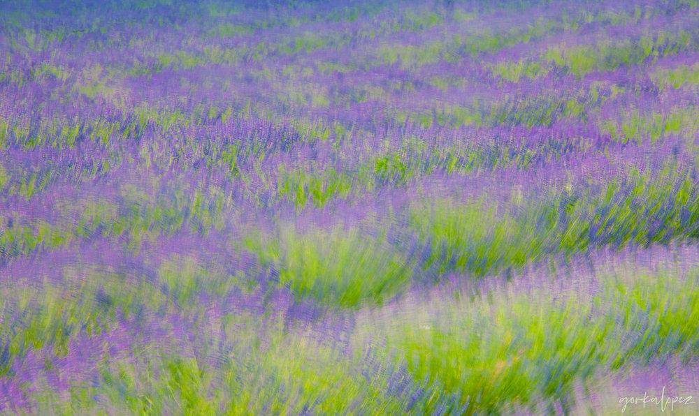 lavender-impressions.jpg