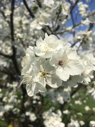 berlin-botanical-garden-cherry-blossom-white-close-up.jpg