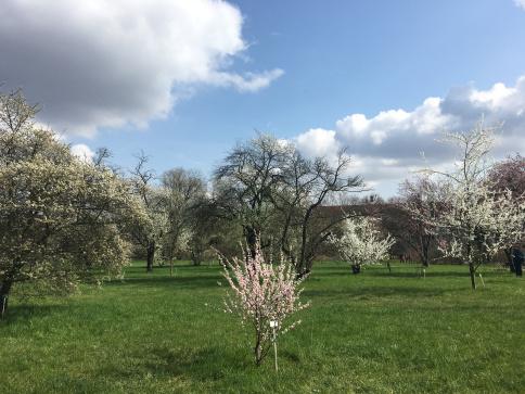 berlin-botanical-garden-cherry-blossom-trees.jpg