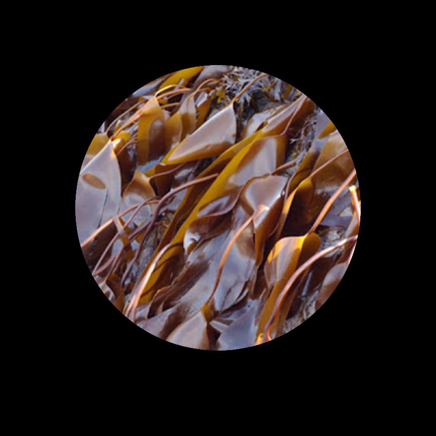 kelp-1@2x.png