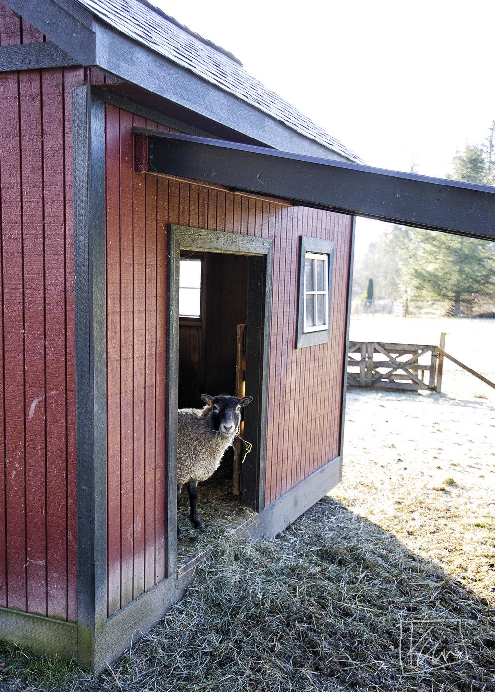 Sage- Gotland ewe