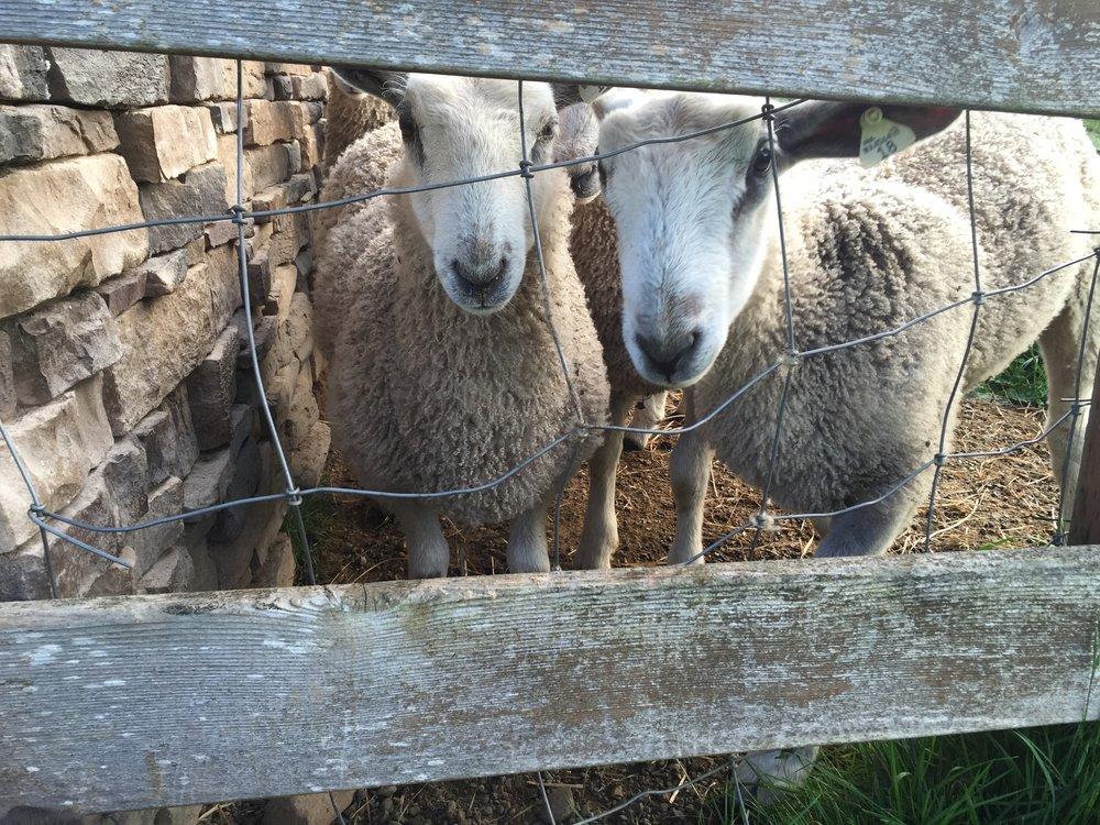 Fiona and Hazel- BFL lambs
