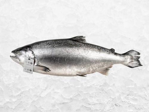 King salmon  Courtesy of Ora King
