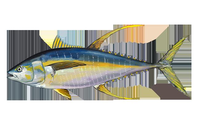 Yellowfin Fisheries.noaa.gov.png