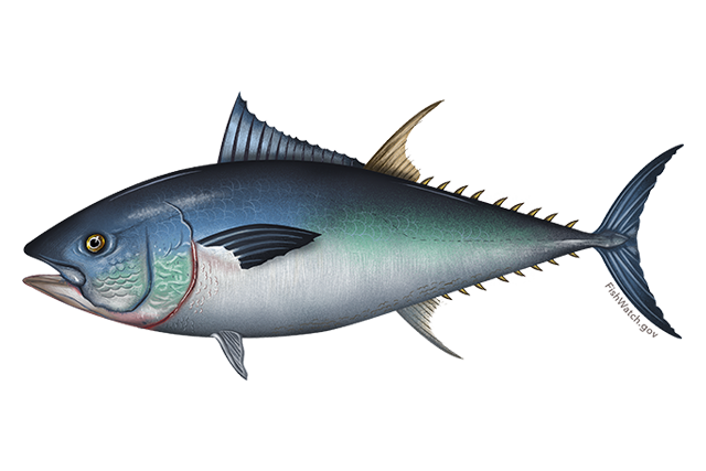 Bluefin Fisheries.noaa.gov.png