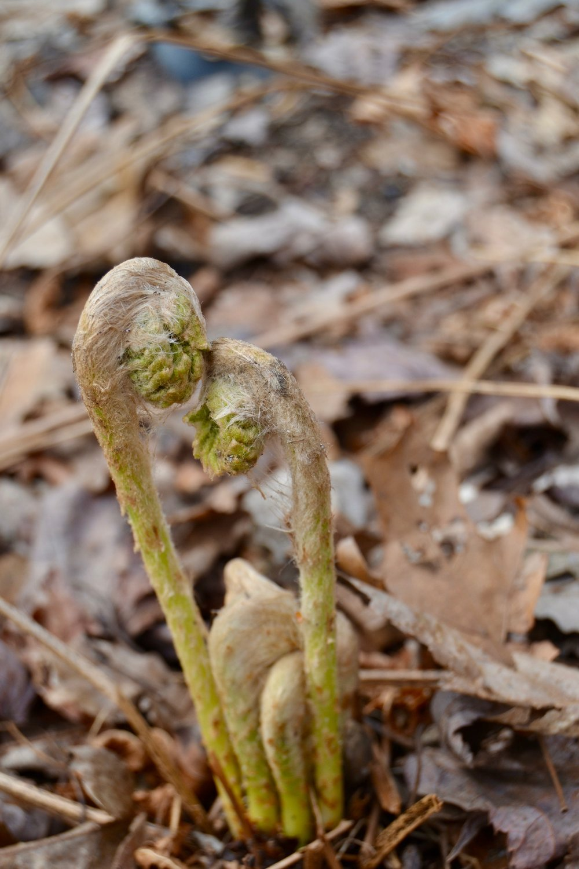 cinnamon fern fiddleheads.jpg