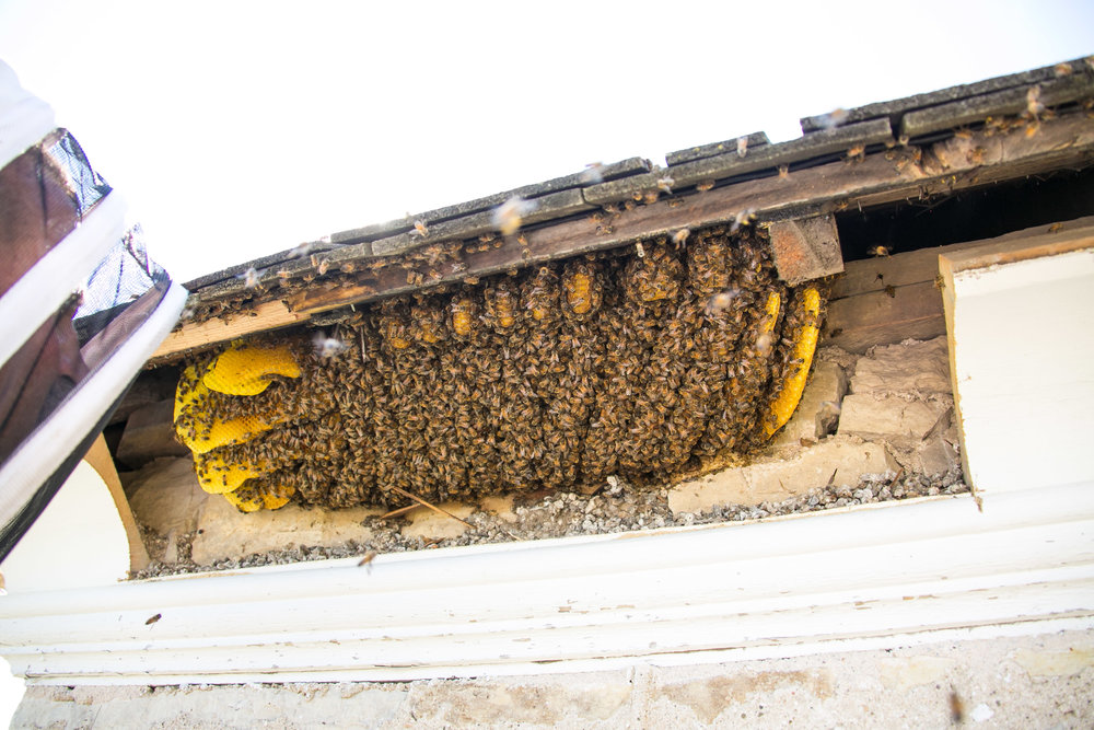 Bee swarm removal at St. Rose Church