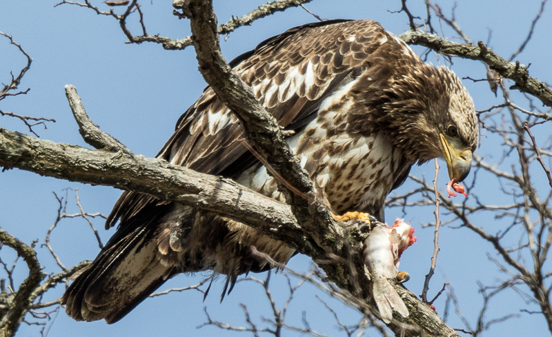 My one 2016 eagle shot...