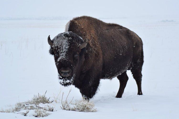 bison-2071799_960_720.jpg