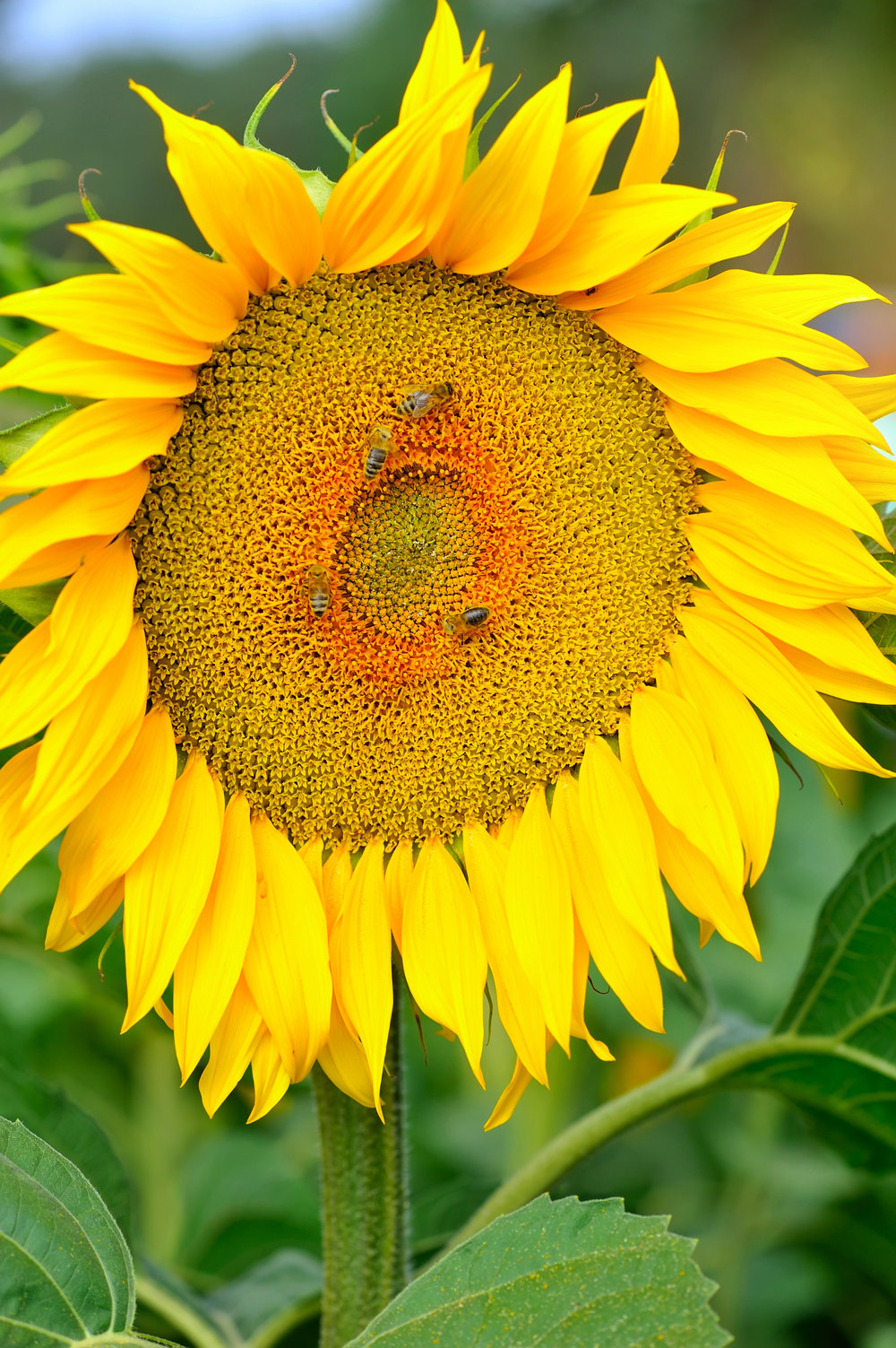 honey-bee-pollinating-sunflower-in-field-of-PHPT268.jpg
