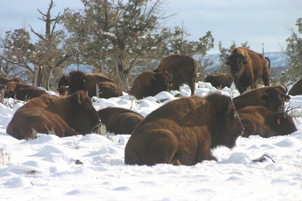 bison 4.jpg
