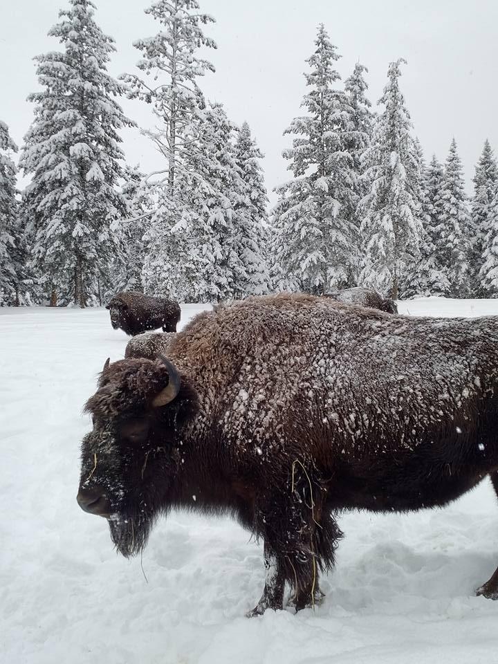 bison 5.jpg