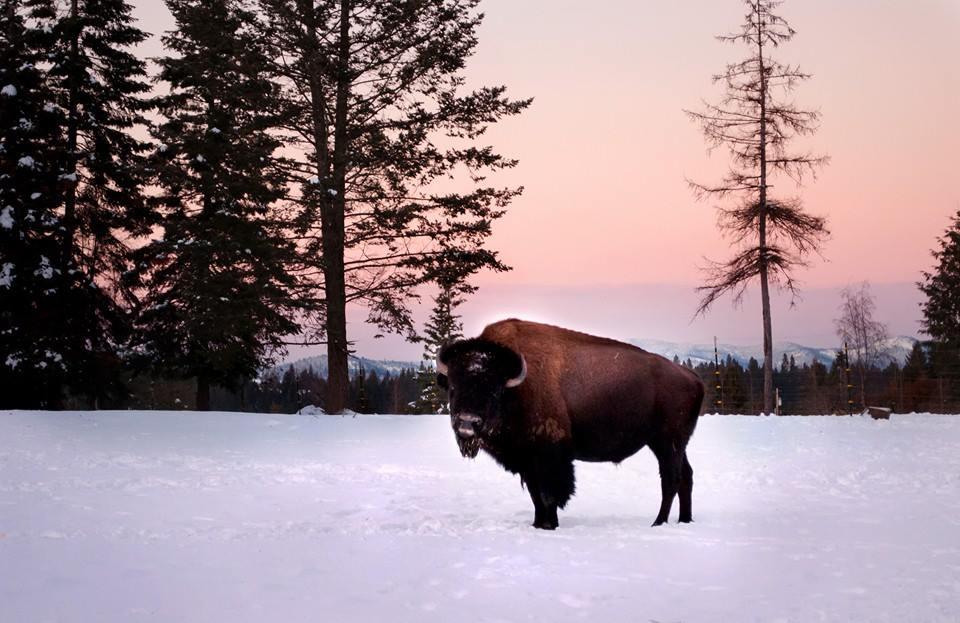 bison 6.jpg