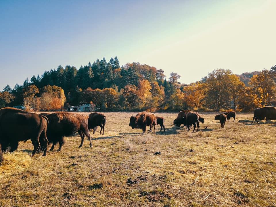 bison 12.jpg