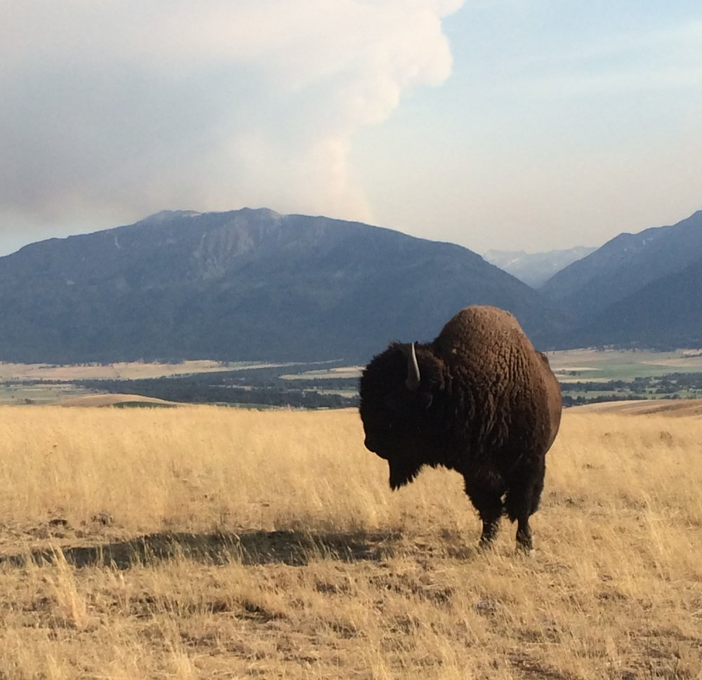 Monthly Bison Report - Keep up to date on the bison market.
