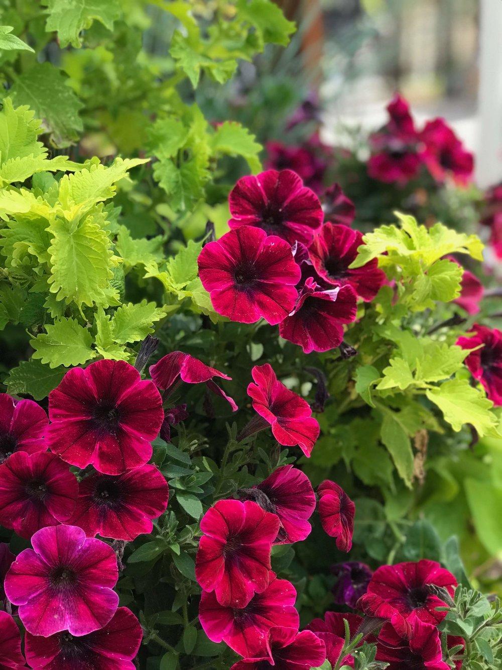 Petunia and coleus combination