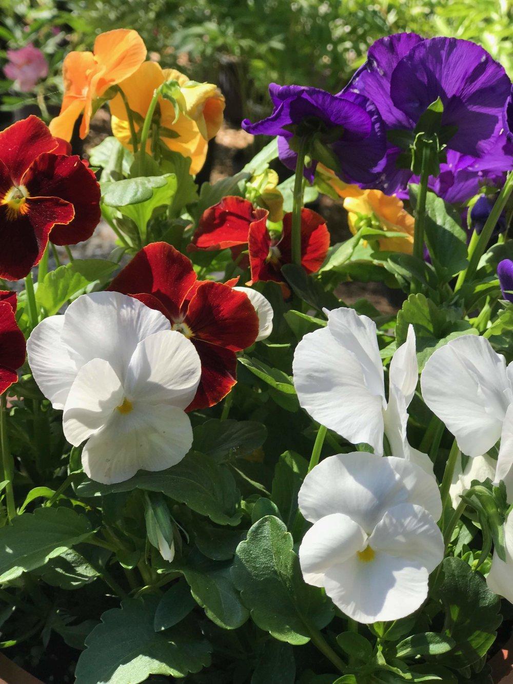 Spring Violas (Johnny Jump Ups)