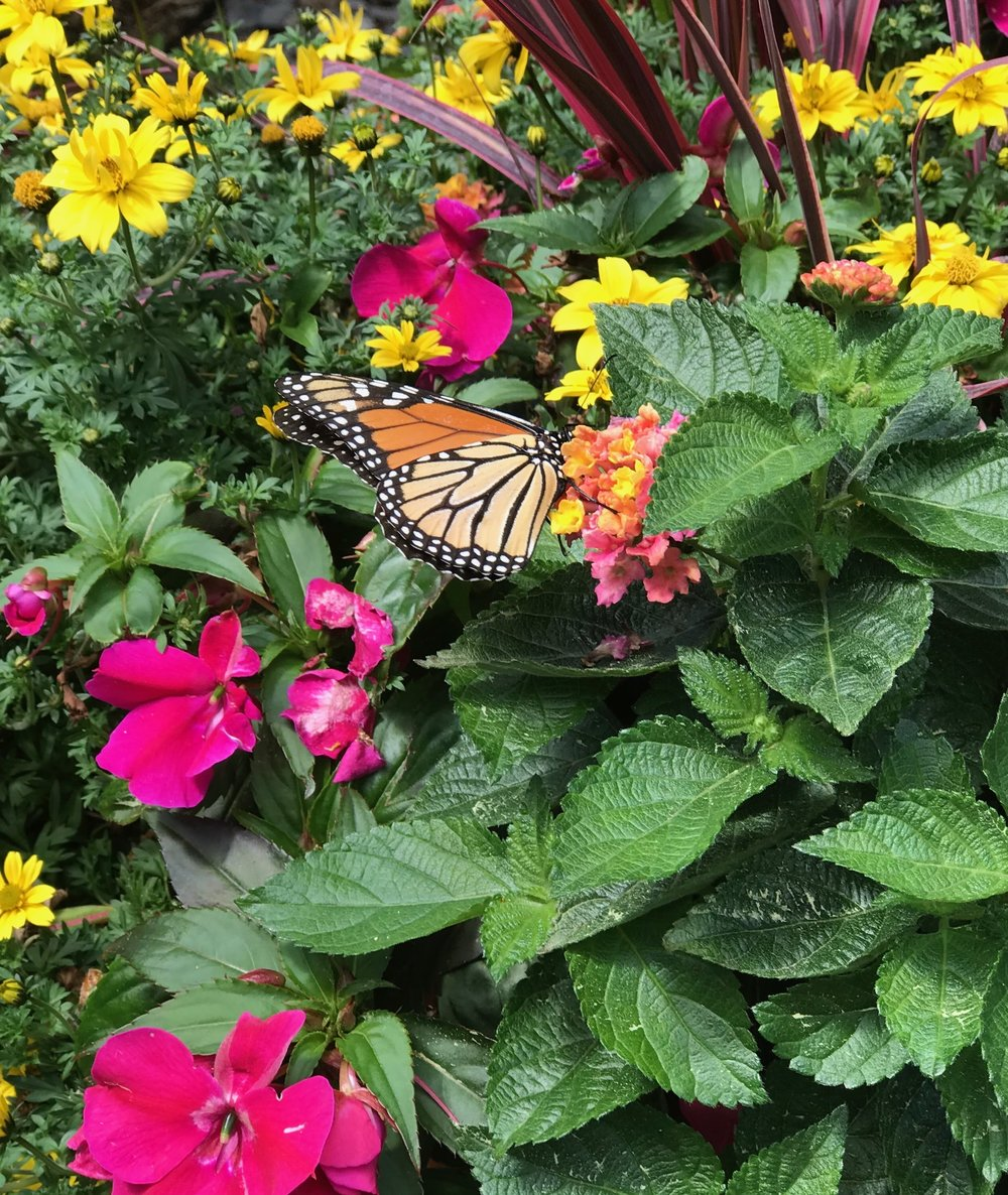 Butterfly enjoying our summer annual planters