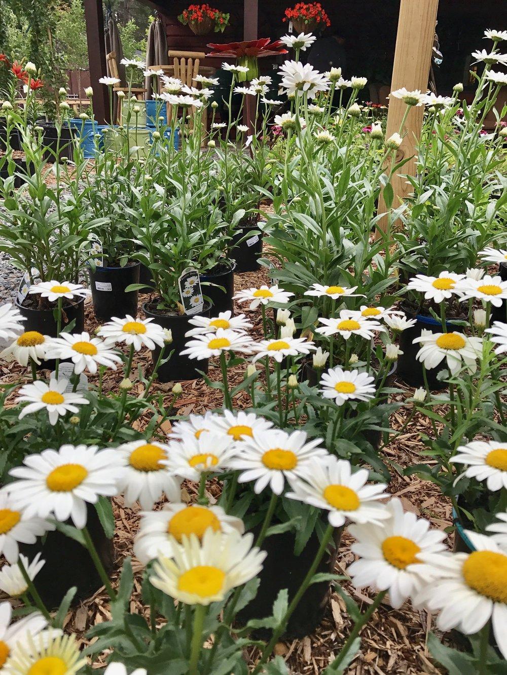 Shasta Daisies & Allium perennials