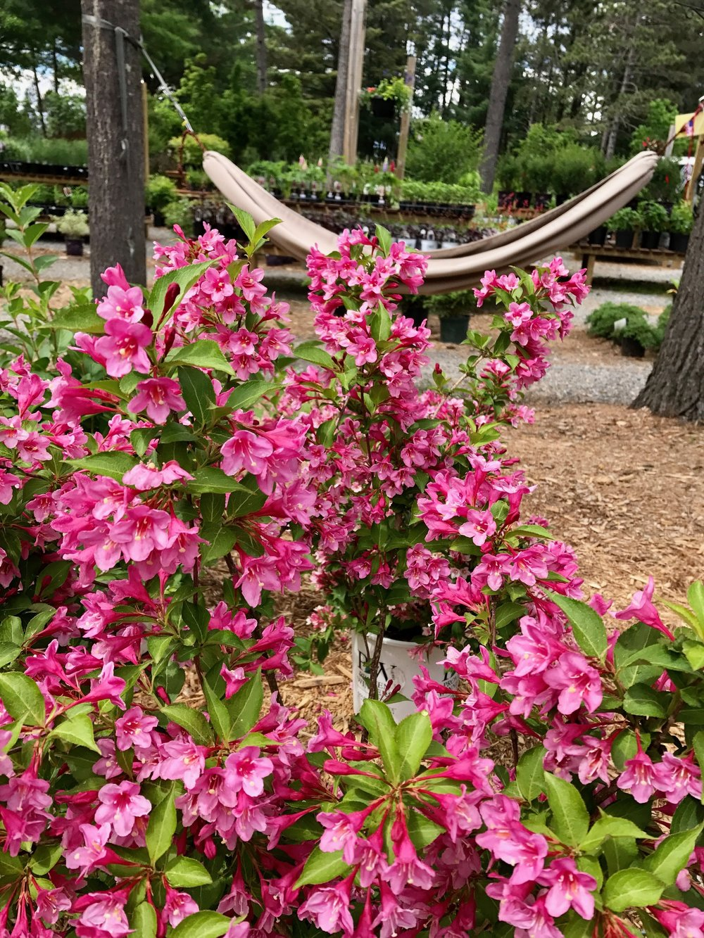 Weigelia flowering shrub