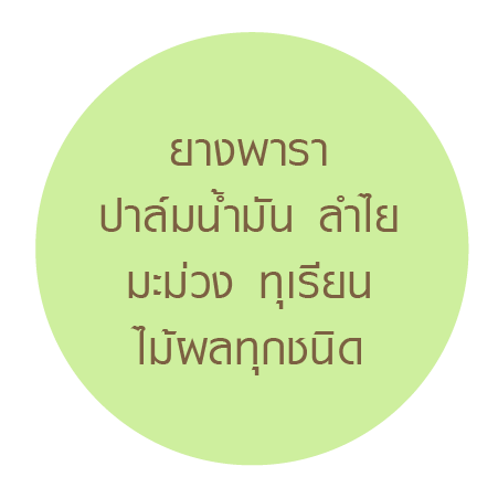 Dindeeยางพารา-14.png
