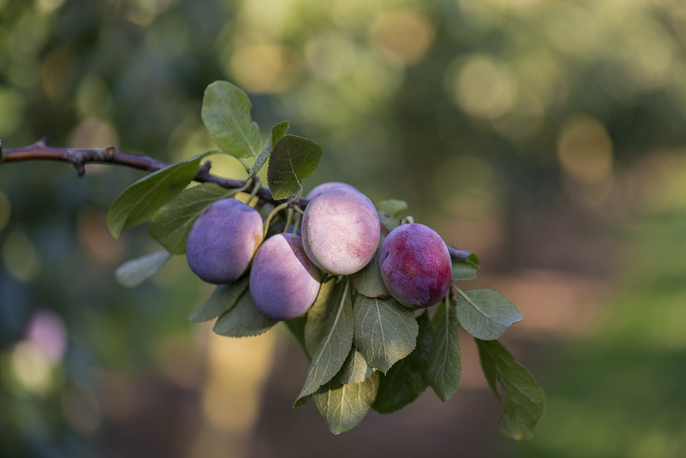 PLUMS - We always enjoy kicking our season off with our plum harvest. We grow 12 varieties of plums, eight of these are pioneering new varieties that have yet to reach the UK market, watch this space…! The plums are all sold to UK premier retailers from July to September.