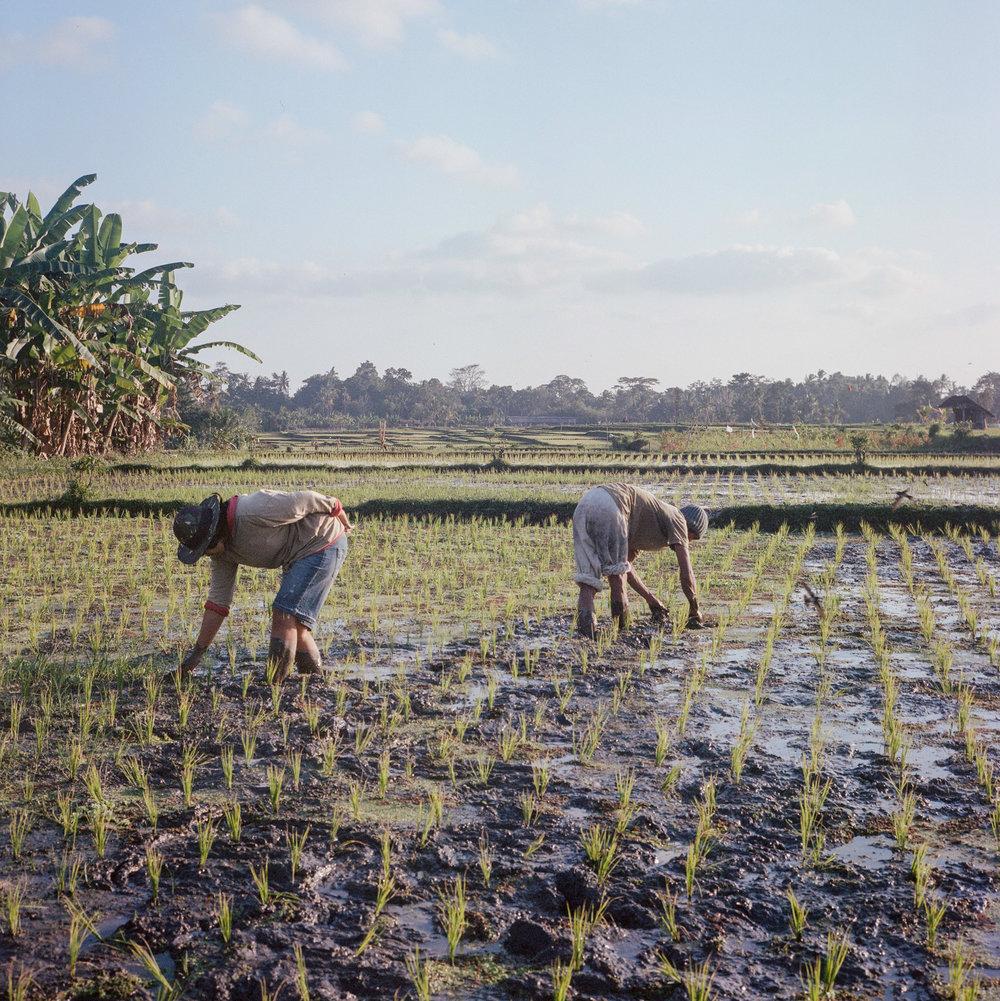 Farmers works in rice field at Tunjuk Village, Bali, Indonesia.
