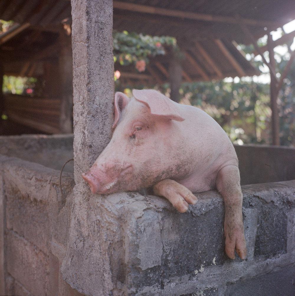 pig at Tunjuk Village, Bali, Indonesia.