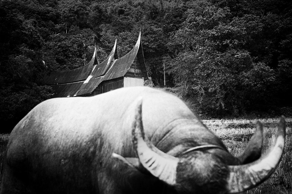 A bull in front of rumah gadang. According to the tale of