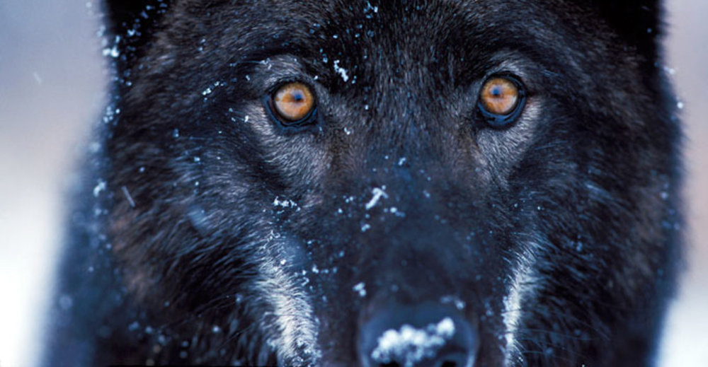 yellowstone-wildlife-wolf-11.jpg