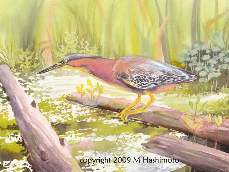 Green Heron, Union Bay - Giclee Print $75