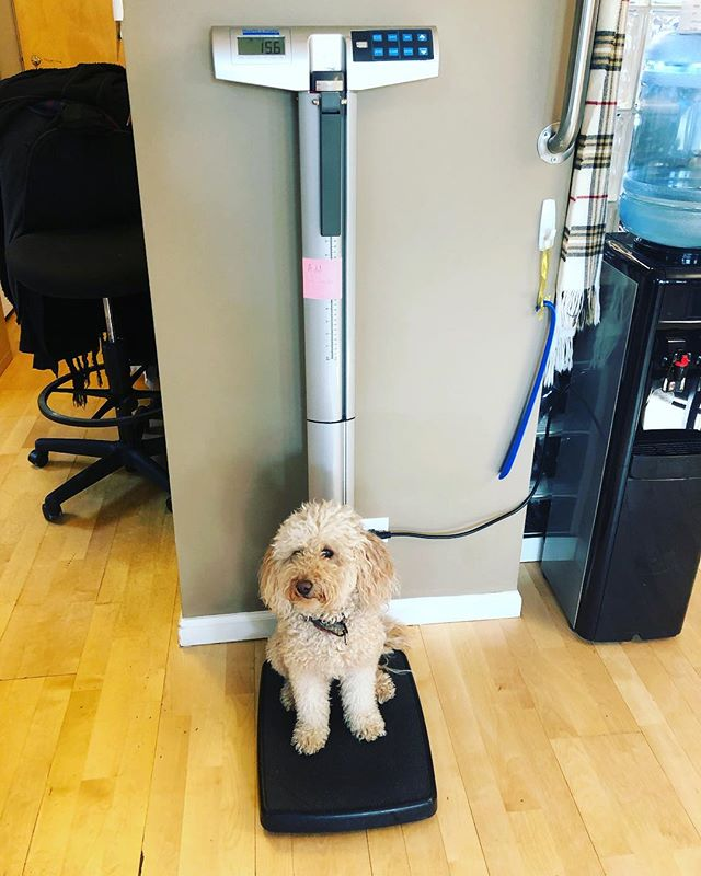 Nobody likes to get on the scale. But it's an important part of the office visit. Even Moose gets up there...eventually