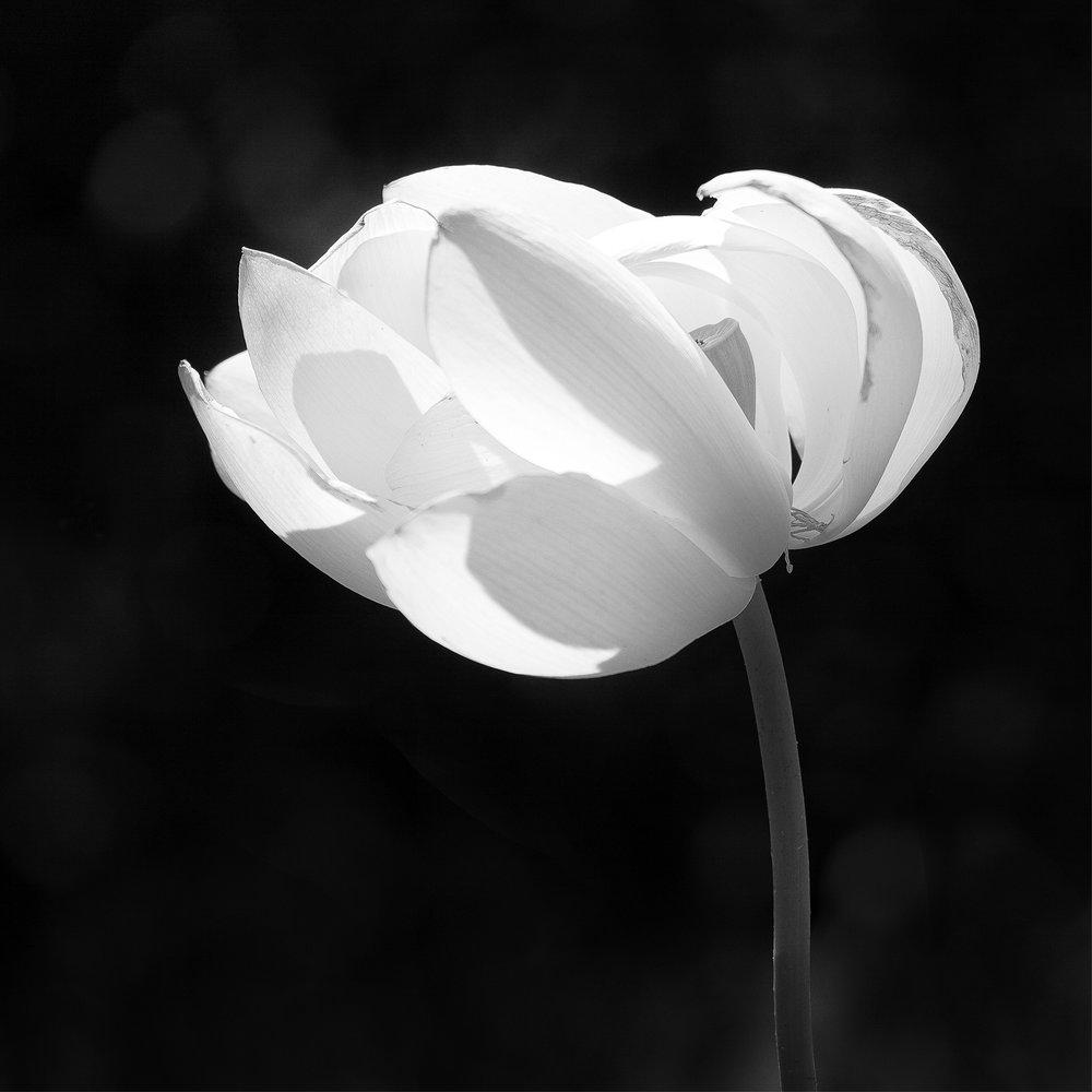 Lotus flower_12x12_highres.jpg