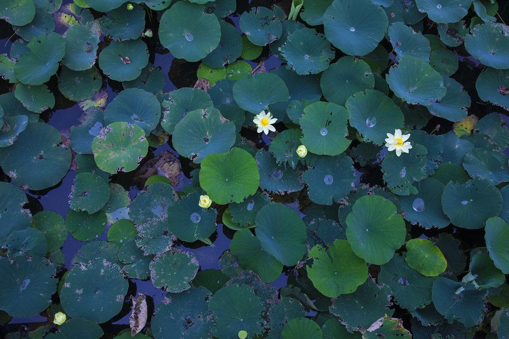 lotus_garden_218_30x20_hires.jpg