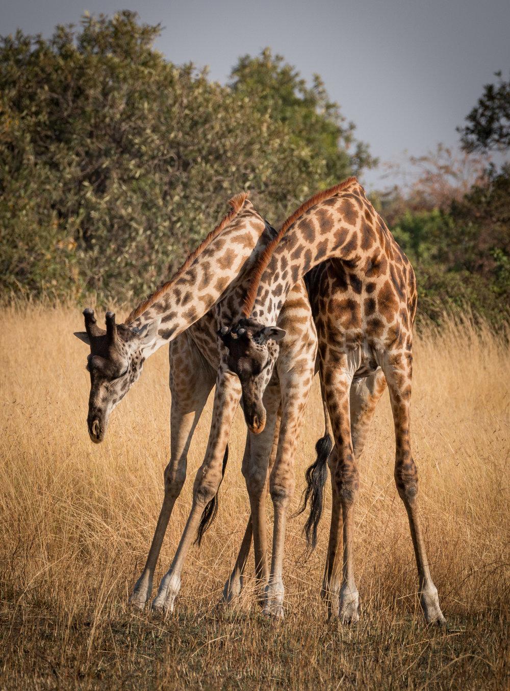Giraffe Dance I