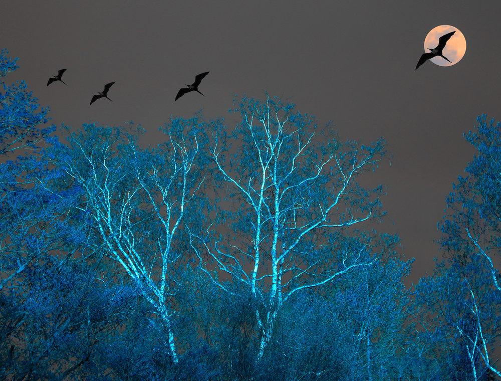 Birches and Frigate Birds