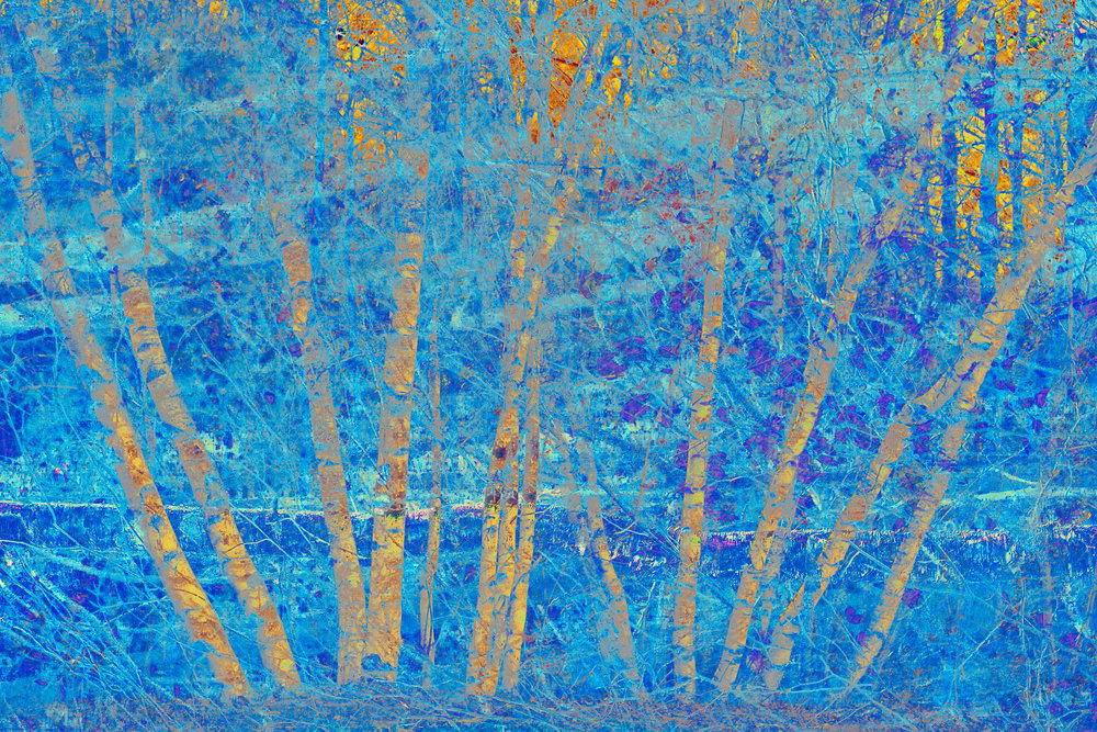 Blue Birches