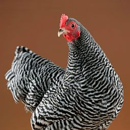Plymouth Barred Rock:  The ALBC lists this breed as recovering